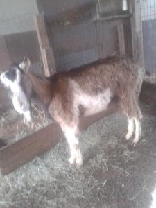 goats (2)