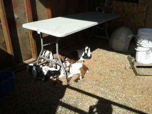 goats (3)