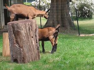 goats_May (3)