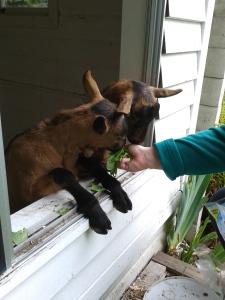 goats_May (4)