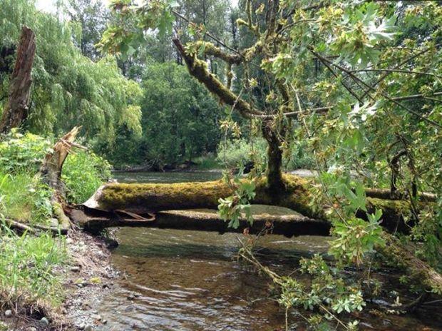 beaver tree knockdown