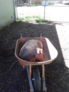 goat in wheelbarrow (1)